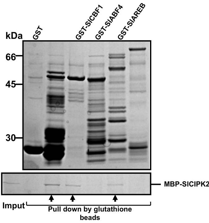 A Flower Specific Calcineurin B-Like Molecule (CBL